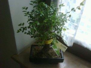 Un bonsai chiamato Highlander.